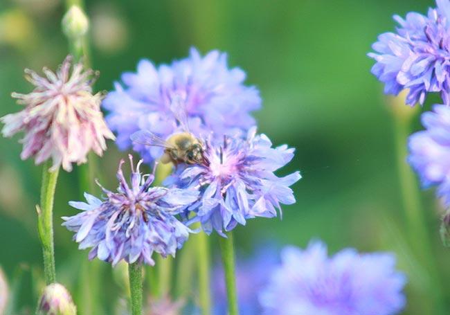 矢车菊,德国国花