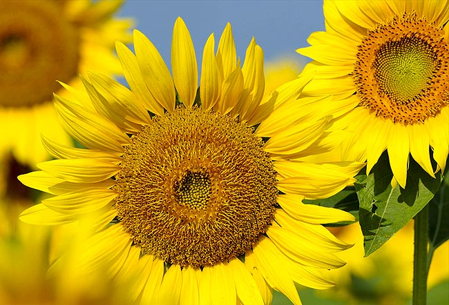 向日葵,俄罗斯国花