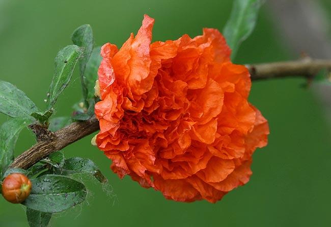 石榴花,西班牙国花