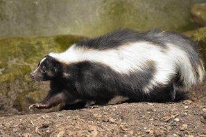美国房屋院子出现臭鼬如何驱逐它?