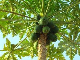 美国夏威夷的木瓜好吃吗?