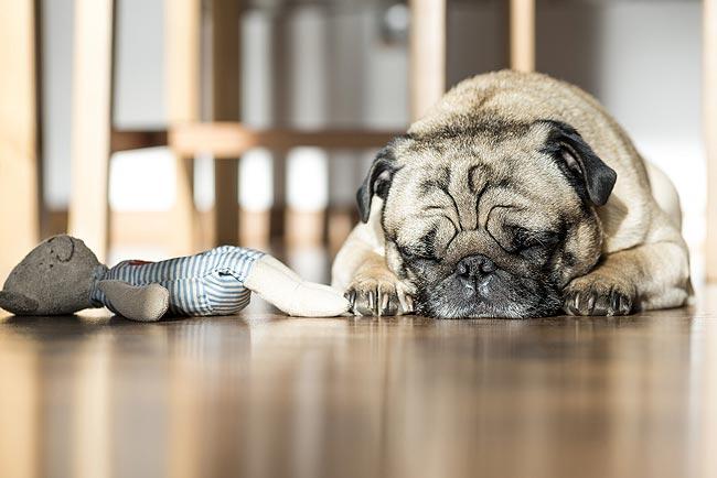 宠物尿液会破坏房子地板